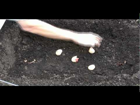 Planting Bulbs: Step-by-Step Gardening