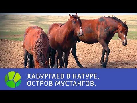 Остров мустангов - Хабургаев в натуре   Живая Планета