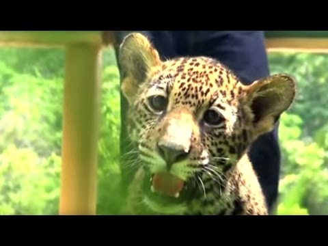Cute Twin Jaguar Cubs Born in Mexico