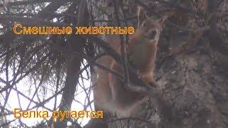 Смешные животные Белка ругается. Реальная белка на дереве кедр . Животные белки