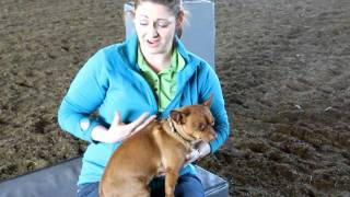 Animal chiropractor Dr. Martin-King demonstrates chiropractic adjustment of a small dog.