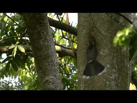 Wildlife Thailand - Tickell's Brown Hornbill (Anorrhinus tickelli)