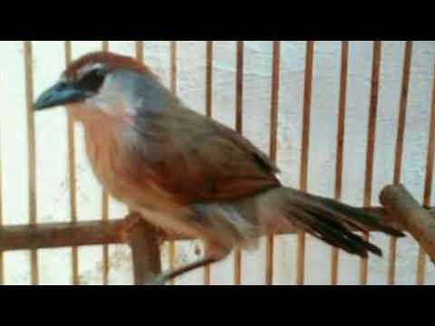 Langsung Nyaut!!! Masteran Burung Kidangan Super Efektif Bikin Burung Kidangan Gacor Dan Ngeplong