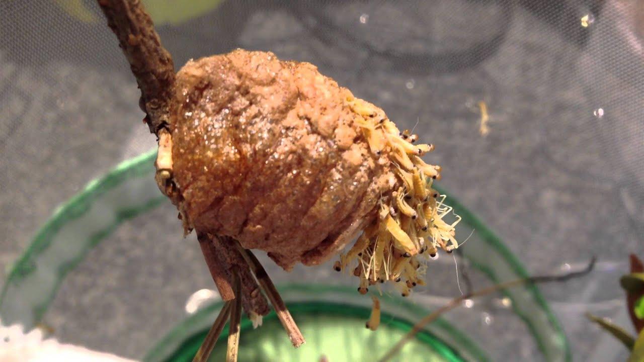 Praying mantis eggs hatching