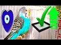 ★❝kuşunuz yerinde durmasınᴴᴰ❞Oyunlar oynasın#muhabbet kuşu sesleri#muhabbet kuşu sesi#budgie talking