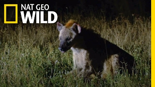 A Hyena Queen Deposed | Animal Fight Night