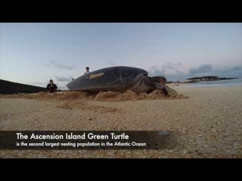 Green Sea Turtles of Ascension Island