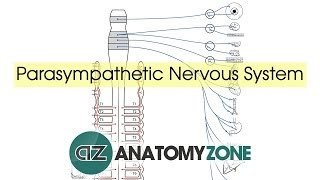 Parasympathetic Nervous System Anatomy