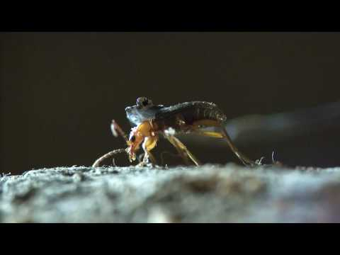 The amazing defense strategy of the Bombardier beetle Brachinus explodens +