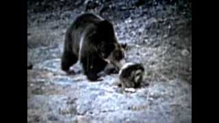 Grizzly Bear Vs Porcupine