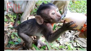 Feed some milk for Flit, How hungry baby monkey Flit! Adorable baby monkey Flit