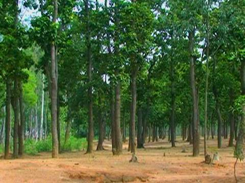 Sal tree forest, Shantiniketan