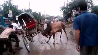 পাগলা গরুর পাগলামি | Qurbani Cow of Dhaka City  Gone Mad