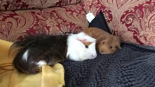 Monday feels with sleepy guinea pigs