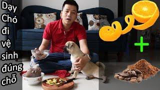 Dạy chó đi vệ sinh đúng nơi quy định (mẹo) - thành công dễ dàng - Chó Pug - Pugk Vlog