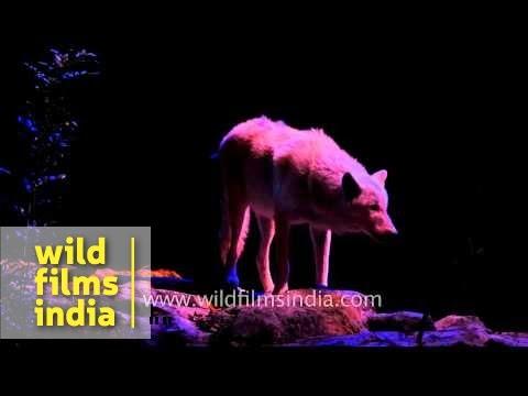 Wolf and Striped Hyena at Singapore Night Safari