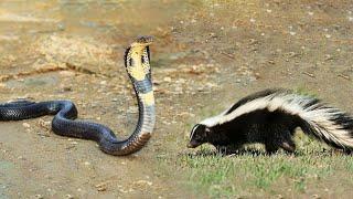 Snake vs Huron - Wild Animals Entertainment