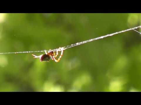 Amazing Spider Tears Down its Spider Web Crab Spider Sun Spider Spiny orb-weaver