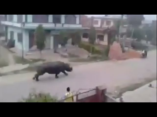 Raw Footage: Giant Rhino Chases Motorcycles