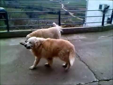 ADOPTADO! ProGolden: Drago (en adopción!)