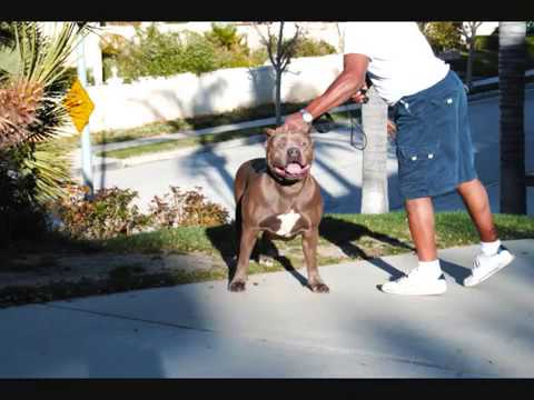 Largest Bully Xxl Blue Female Pitbull, Bgk's Big Sexy, Biggest Bully Female Pit Bull video