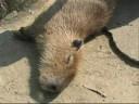 Touching Capybaras 2