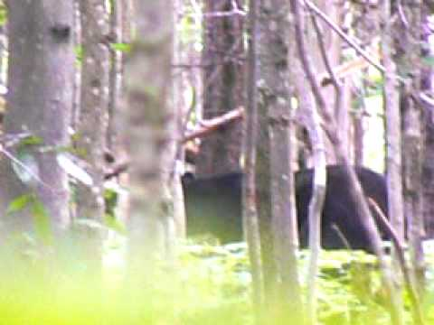 Black Bear in the White Mountains of New Hampshire
