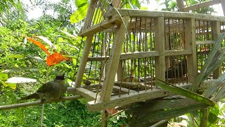 Jebakan burung merbah belukar dengan pelepah pohon sagu