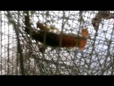 Crayfishing. 24 Hour Soak.