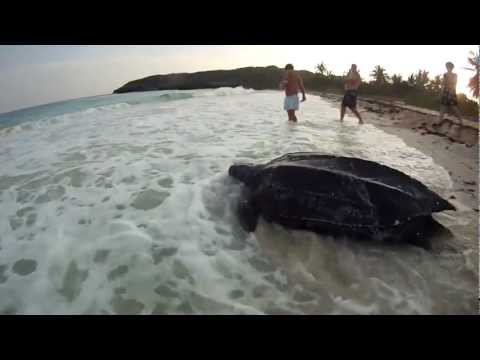 Leatherback Turtle Nesting in Daylight on Vieques - Very Rare! (subtítulos CC en español)