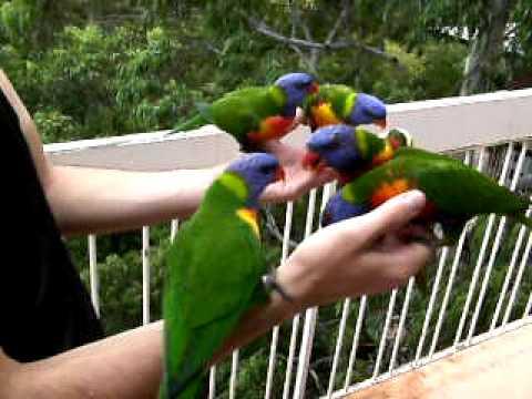 wild aussie birds - rainbow lorikeets