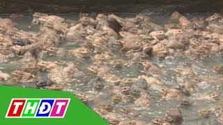 Hướng đi mới cho nghề nuôi ếch ở Tháp  Mười | THDT
