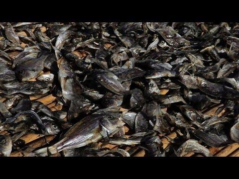 Malawi's fish stocks in sharp decline