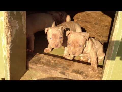 pitbull rednose puppies