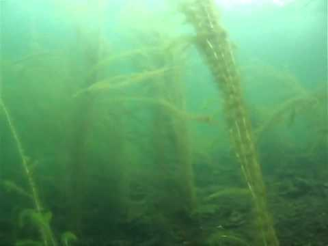 Plant life in coniston water.flv