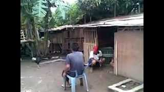 Ternak Ayam Bangkok Bp Uci Cilamaya part 1.mp4