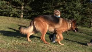 Protection Dog - Toddler with Kraftwerk K9 Protection Trained German Shepherd