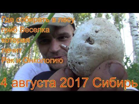 Где и когда собирать в лесу гриб Веселку которая лечит рак и онкологию  Сибирь Тайга лес  выживание