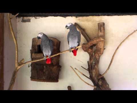 Burung Nuri Terbaik (african Parrot) video