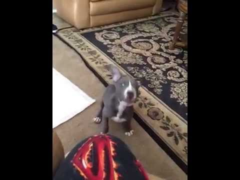 Pitbull Puppy Barking Playfully   ❤️