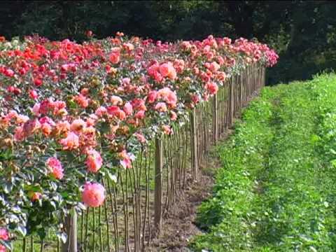 Rosen Veredeln - Teil 1