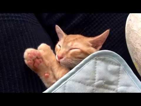 かわいい子猫 眠たいとらさん寝返り