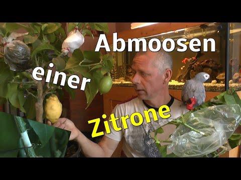 Abmoosen Einer Zitronen Pflanze Air Layering