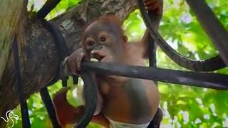 Baby Orangutan Climbs A Tree For The First Time After Getting Shot