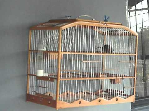 Trini Bullfinch For Sale video