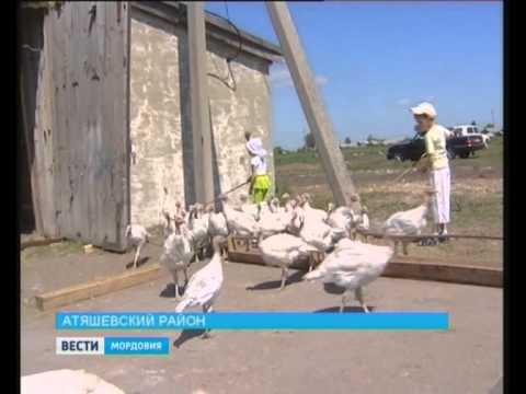 В Атяшевском районе появилась индюшиная ферма