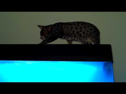 Savannah Cat Going Fishing Mike the fish guy (714)493-4205