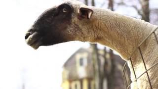 Goats Yelling Like Humans - Super Cut Compilation