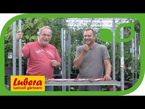 Einmaltragende Erdbeeren von Lubera®