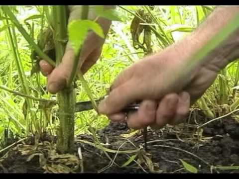 Kog's Banned Video - A Growers Lot - Growing Marijuana for Fun & Profit